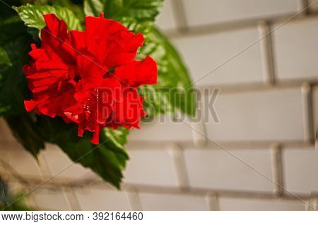 Large Decorative Hibiscus Tree For Decorating The Gazebo And Making Tea From Red Flowers