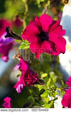 Beautiful Petunia Flowers For Garden Decoration, Gazebos Outdoors In Summer