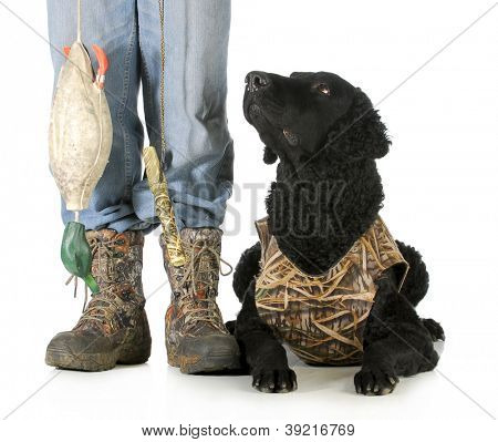 hunting dog - curly coated retriever beside hunter with deadfowl dummie on white background poster