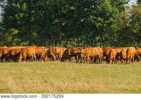Cows Volyn Meat, Limousine, Abordin.rural Composition. Cows Grazing In The Meadow.