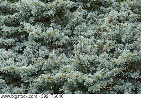 Blue Spruce (picea Pungens 'glauca Globosa'). Called Colorado Spruce And Blue Globe Colorado Spruce