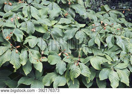 Rogers Bottlebrush Buckeye (aesculus Parviflora Var. Serotina 'rogers')