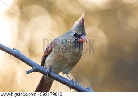 Northern Cardinal, Cardinalis Cardinalis, Female Closeup Perched Facing  Right With Golden Fall Foli