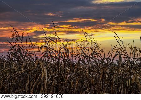 An Autumn Cornfield Is Silhouetted By A Dramatic And Colorful Late October Sunset Sky Over Indiana I