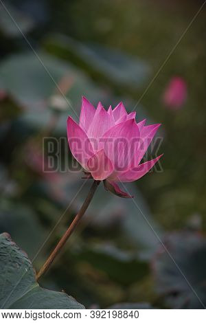 Indian Lotus, Sacred Lotus, Bean Of India, Nelumbo, Nelumbonaceae ,nelumbium Speciosum Willd. Nympha