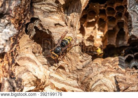 Entrance To The Hornets Nest In The Tree Hollow. Jack Predatory Wasps. The European Hornet, Lat. Ves