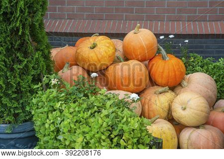 Lots Of Ripe Yellow Pumpkins In Heap. Autumn Decor Rustic Style.