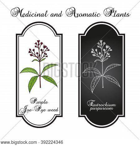 Purple Joe-pye Weed Eutrochium Purpureum , Or Kidney-root, Gravel Root, Medicinal Plant. Hand Drawn