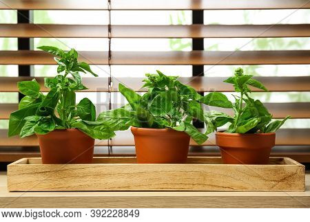 Green Basil Plants In Pots On Window Sill Indoors