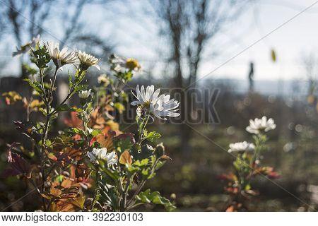 Autumn White Chrysanthemum Flowers In The Garden.