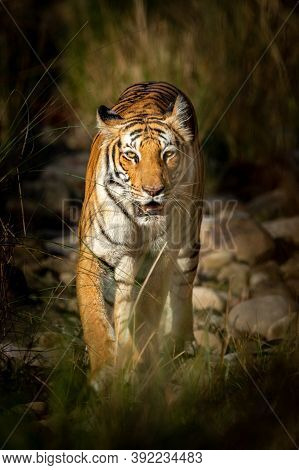 Wild Royal Bengal Tiger Of Terai Region Walking Head On In Forest At Uttarakhand India - Panthera Ti