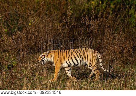 Wild Royal Bengal Tiger Of Terai Region Walking In Forest At Uttarakhand India - Panthera Tigris Tig