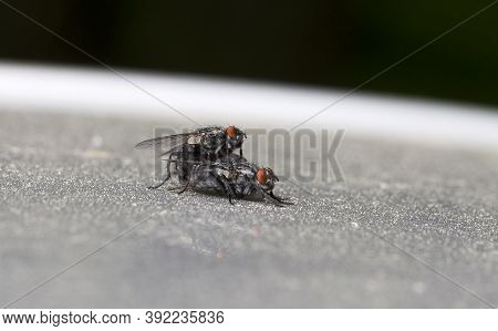Flesh Flies In Big Detail On The Grass