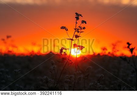 Summer Sun Shining Through Young Fagopyrum Flowering Plant Sprouts. Sunset Sunrise Sun. Close Up. Gr