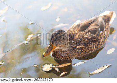Mallardmallard Duck Is Swimming In The Park Pond. Yellow Autumn Leaves Are Floating Nearby. Copy Spa