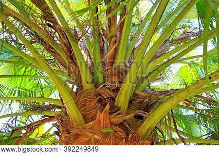 Close Up Of A Palm Tree Branches And Leaves. Brown Trunk And  Greenish Background