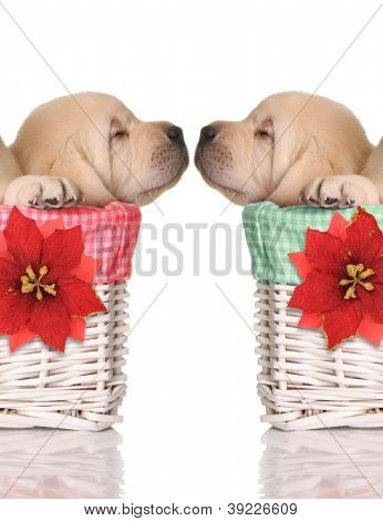 Puppy love, sleeping puppies in red and green Christmas baskets.