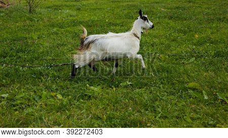 Spotted Goat With Big Horns And Yellow Eyes Grazing In A Meadow. Funny Goat On A Leash Eats A Green