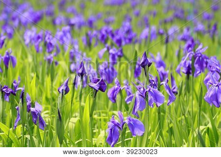 Group Of Purple Irises In Spring Sunny Day.