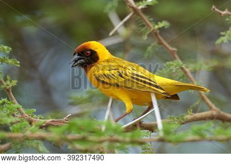 The southern masked weaver or African masked weaver (Ploceus velatus) in natural habitat