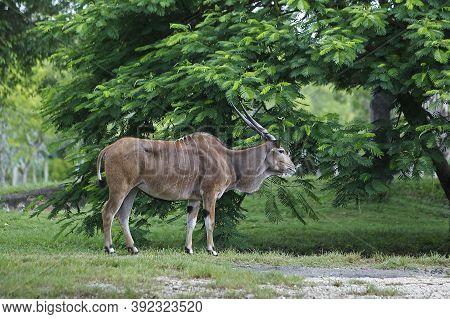 Cape Eland, Taurotragus Oryx, Male Cape Eland, Taurotragus Oryx, Male
