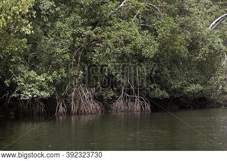 Mangrove Tree In Orinoco Delta, Venezuela Mangrove Tree In Orinoco Delta, Venezuela