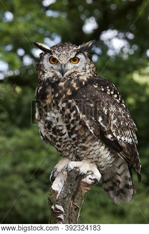 Cape Eagle Owl Bubo Capensis, Adult Perched On Post