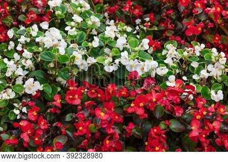 flower bed with white red flowers as background