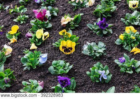 seedlings of flowers in a flower bed