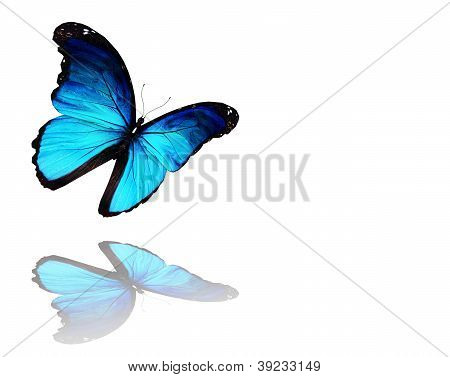 Morpho Blue Butterfly Flying, Isolated On White Background