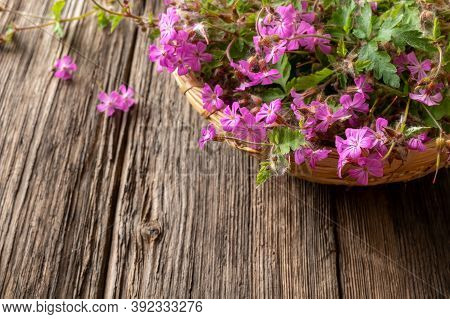 Fresh Herb-robert, Or Geranium Robertianum Plant In A Basket On A Table