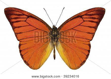 Orange Butterfly Species Appias Nero Neronis