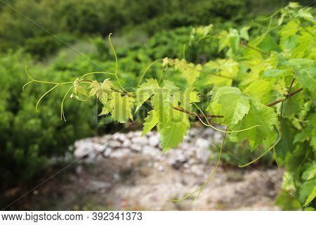 Peljesac Vineyard. Croatia Wine Making Region. Europe Viticulture.