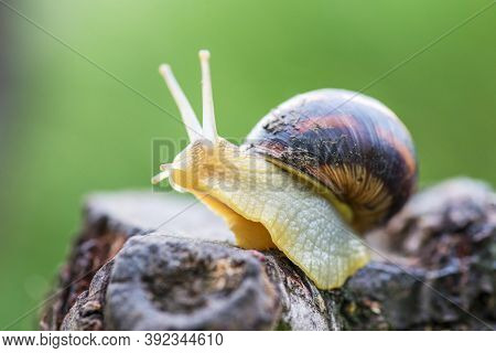 Snail On The Tree In The Garden. Snail Gliding On The Wet Wooden Texture. A Common Garden Snail Craw