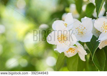 Beautiful White Jasmine Flowers. Beautiful Blooming Jasmine Branch With White Flowers. Natural Backg