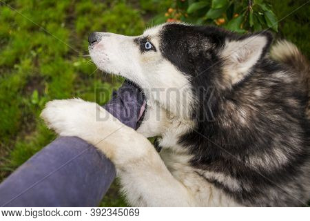 Young Dog Husky Breed Is Trying To Bite Human Hand. Dangerous Dog Bites Man's Hand.