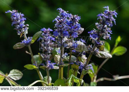 Blue Bugle (ajuga Reptans), Sprawling Perennial Herb