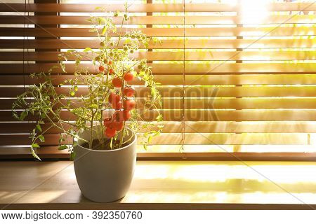 Tomato Plant In Pot On Window Sill Indoors. Space For Text