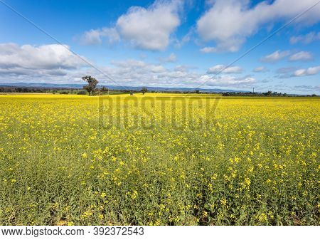Canola Field In Flower Near Cowra In Central West Of Nsw Australia. Areas In The Central West Of Nsw