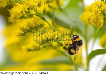 Bumblebee Collects Nectar From Yellow Flower. Bumblebee And Yellow Flowers.a Bee Busy Drinking Necta