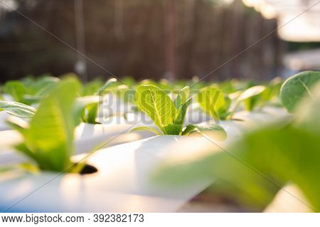 Organic Farming. Hydroponic Organic Vegetables Are Growing In Greenhouse.  Interior Of The Farm Hydr