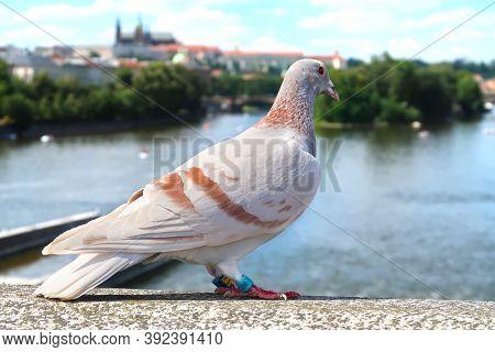 Closeup Of The City Pigeon Standing On The Bridge Over River Vltava In Prague, Czech Republic With B