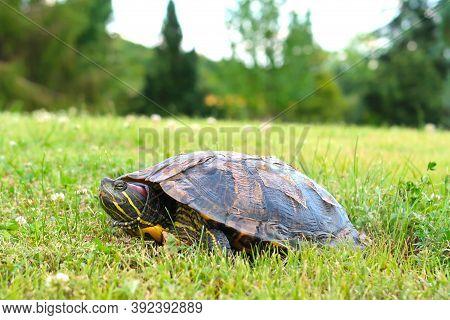 Red Eared Terrapin Turtle (trachemys Scripta Elegans Or Chrysemys Scripta Elegans) In The Meadow Of