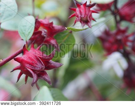 Roselle Hibiscus Sabdariffa Red Fruit Flower Blooming In Garden On Blurred Of Nature Background, Sel
