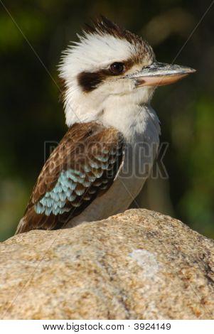 Kookaburra On The Rocks