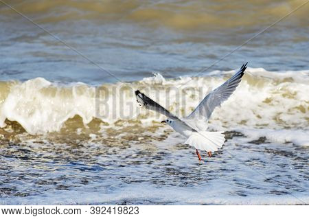 Seagull Flying Over Blue Water Background. Seagull Flying Over The Sea