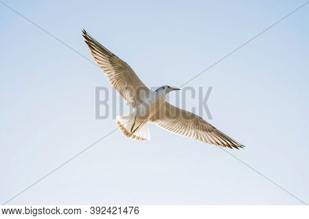 White Seagull Among The Clear Dark Blue Sky. The Seagull Flies Against The Blue Sky. Seagull In Flig