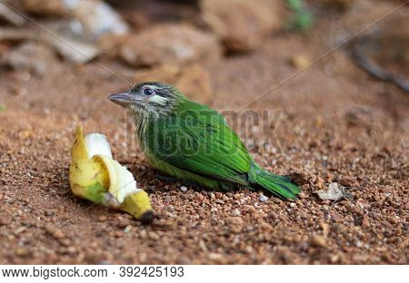 White Cheeked Barbet. The White-cheeked Barbet Or Small Green Barbet Is A Species Of Barbet Found In