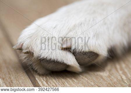 Dog Paw Close-up. White Beagle Paw . Macro Of White Dog Paw. Close Up Of Light Colored Puppy Paw
