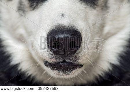 Close-up Of A Dog's Nose. Close Up Shot Of Dog Nose. Dog Nose. Beautiful Husky Dog Head